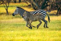 Zebra - HT-C-178