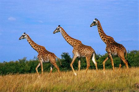 Zürafalar resim