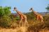 Zürafalar k0