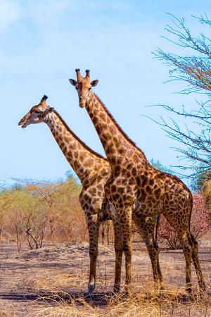 Zürafalar 0